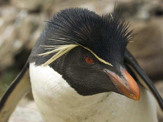 Falkland Islands. Portrait of Rockhopper Penguin-Ellen Anon-Photographic Print