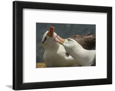 Falkland Islands, Saunders Island. Black-Browed Albatross Courtship-Cathy & Gordon Illg-Framed Photographic Print