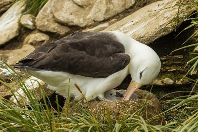 Falkland Islands, Saunders Island. Black-Browed Albatross with Chick-Cathy & Gordon Illg-Photographic Print