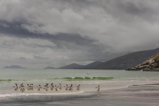 Falkland Islands, Saunders Island. Gentoo Penguins Coming Ashore-Cathy & Gordon Illg-Photographic Print