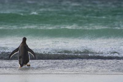 Falkland Islands. Saunders Island. Gentoo Penguins Diving-Inger Hogstrom-Photographic Print