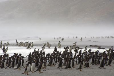 Falkland Islands. Saunders Island. Gentoo Penguins Fight the Wind-Inger Hogstrom-Photographic Print
