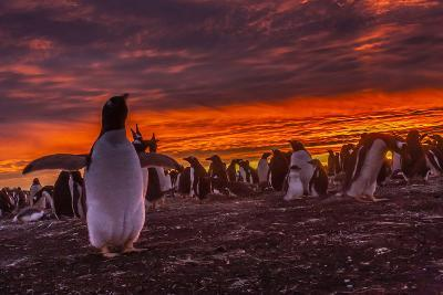 Falkland Islands, Sea Lion Island. Gentoo Penguin Colony at Sunset-Cathy & Gordon Illg-Photographic Print