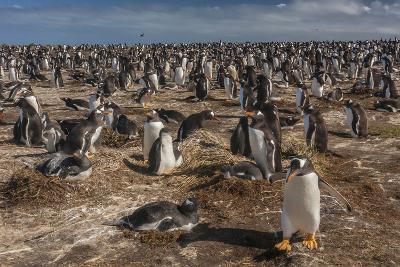 Falkland Islands, Sea Lion Island. Gentoo Penguin Colony-Cathy & Gordon Illg-Photographic Print