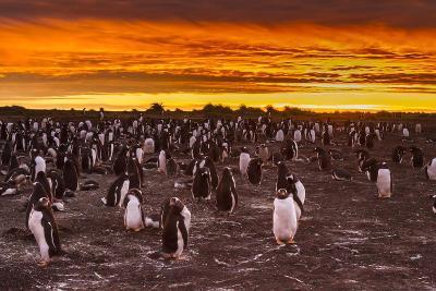 Falkland Islands, Sea Lion Island. Gentoo Penguins Colony at Sunset-Cathy & Gordon Illg-Photographic Print