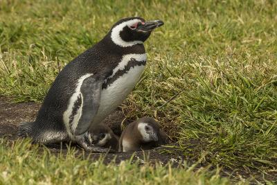 Falkland Islands, Sea Lion Island. Magellanic Penguin and Chicks-Cathy & Gordon Illg-Photographic Print
