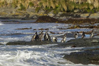 Falkland Islands, Sea Lion Island. Magellanic Penguins and Surf-Cathy & Gordon Illg-Photographic Print