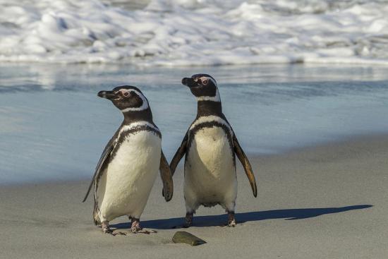 Falkland Islands, Sea Lion Island. Magellanic Penguins on Beach-Cathy & Gordon Illg-Photographic Print