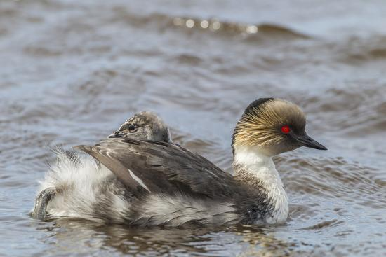 Falkland Islands, Sea Lion Island. Silvery Grebe with Chick on Back-Cathy & Gordon Illg-Photographic Print