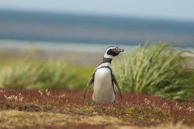 Falkland Islands, Sea Lion Island. Solitary Magellanic Penguin-Cathy & Gordon Illg-Photographic Print