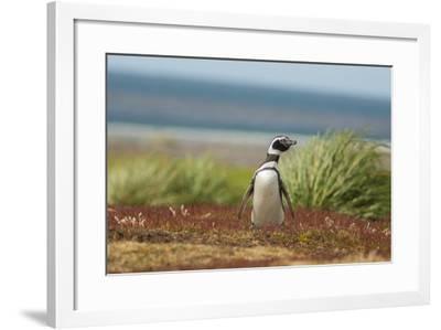 Falkland Islands, Sea Lion Island. Solitary Magellanic Penguin-Cathy & Gordon Illg-Framed Photographic Print