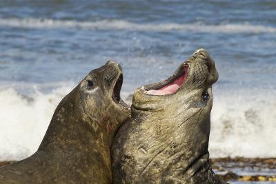 Falkland Islands, Sea Lion Island. Southern Elephant Seals Fighting-Cathy & Gordon Illg-Photographic Print