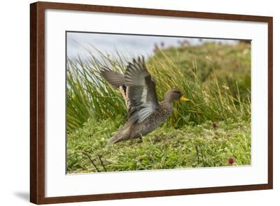 Falkland Islands, Sea Lion Island. Speckled Teal Duck Close-up-Cathy & Gordon Illg-Framed Photographic Print