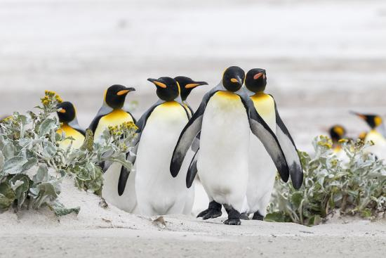 Falkland Islands, South Atlantic. Group of King Penguins on Beach-Martin Zwick-Photographic Print