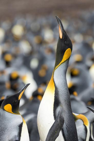Falkland Islands, South Atlantic. King Penguin Trumpeting-Martin Zwick-Photographic Print