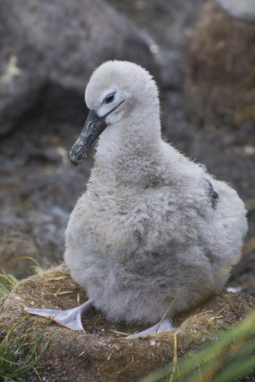 Falkland Islands. West Point Island. Black Browed Albatross Chick-Inger Hogstrom-Photographic Print