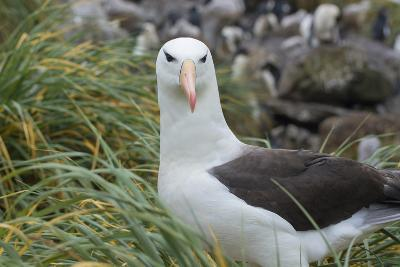 Falkland Islands. West Point Island. Black Browed Albatross-Inger Hogstrom-Photographic Print