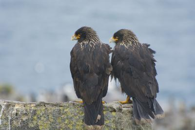 Falkland Islands. West Point Island. Striated Caracara Pair-Inger Hogstrom-Photographic Print