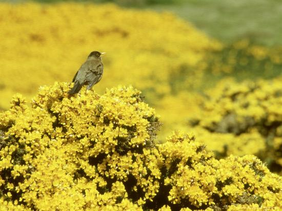 Falkland Thrush, Turdus Falcklandii-Michael Leach-Photographic Print