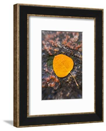 Fall aspen leaf detail, Inyo National Forest, Sierra Nevada Mountains, California, USA.-Russ Bishop-Framed Photographic Print