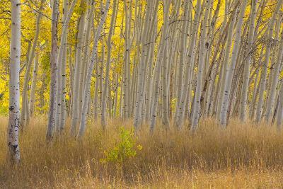 Fall Aspen Trees Along Skyline Drive, Utah, Manti-La Sal National Forest-Jaynes Gallery-Photographic Print