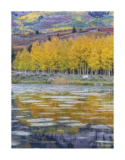 Fall Aspens Reflecting in a Pond-Don Paulson-Giclee Print