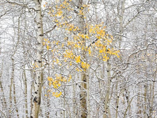 Fall Birch-Andrew Geiger-Photographic Print