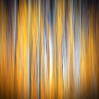Fall Birches-Ursula Abresch-Photographic Print