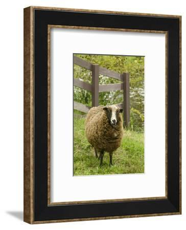 Fall City, WA. Jacob Sheep mixed breed in pasture by wooden fence.-Janet Horton-Framed Photographic Print