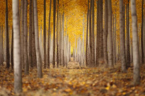 Fall Color In A Tree Farm In Oregon-Joe Azure-Photographic Print