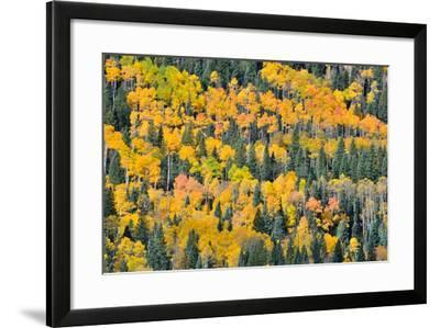 Fall Color Views Along Forest Road 858 to Owl Creek Pass, Colorado, Big Cimarron-Ray Mathis-Framed Photographic Print