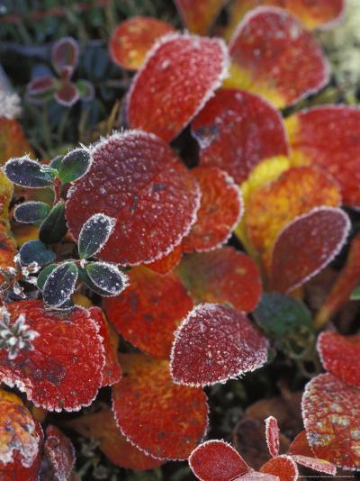 Fall-Colored Bearberry and Dwarf Cranberries, Wonder Lake, Denali National Park, Alaska, USA-Stuart Westmoreland-Photographic Print