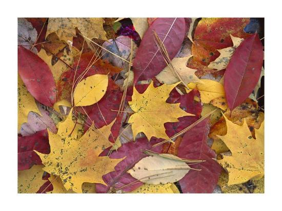 Fall-colored Maple, Sourwood and Cherry leaves, Great Smoky Mountains NP-Tim Fitzharris-Art Print
