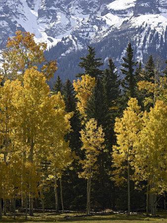 https://imgc.artprintimages.com/img/print/fall-colors-of-aspens-with-evergreens-near-ouray-colorado_u-l-p2rvpw0.jpg?p=0