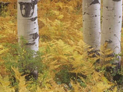 Fall Ferns at the Base of Quaking Aspen Trees, Populus Tremuloides, Colorado, USA-Adam Jones-Photographic Print