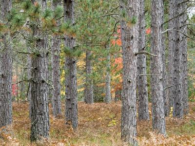 Fall Foliage and Pine Trees in the Forest.-Julianne Eggers-Photographic Print