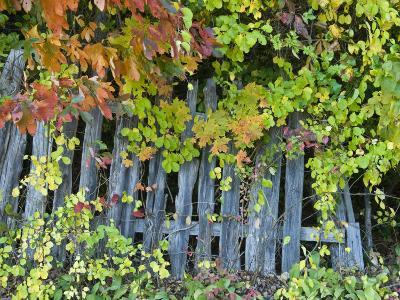 Fall Foliage around an Old Wooden Fence-Todd Gipstein-Photographic Print