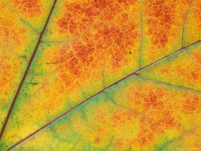 Fall Leaf Detail, Washington, USA--Photographic Print