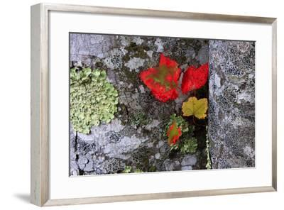 Fall Leaves at Acadia National Park, Maine, USA-Joanne Wells-Framed Photographic Print