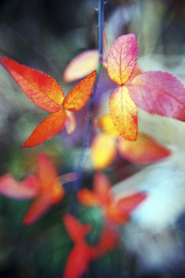 Fall Leaves II-Bob Stefko-Photographic Print