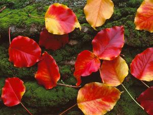 Fall Leaves Sacramento CA USA