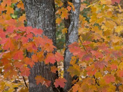 Fall Maple Trees, Keweenaw Penninsula, Michigan, USA-Chuck Haney-Photographic Print