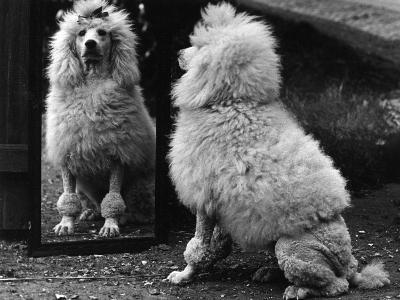 Fall, Poodle and Mirror-Thomas Fall-Photographic Print