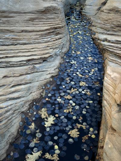 Fallen Autumn Leaves on Water Collecting in Sandstone, Colorado Plateau, Utah, Usa-Jeff Foott-Photographic Print