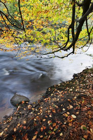 Fallen Leaves and Tree Overhanging the River Nidd in Nidd Gorge in Autumn-Mark Sunderland-Photographic Print