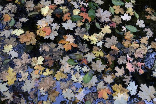 Fallen Leaves Floating in a Pond in Forest in the Santa Catalina Mountains-Bill Hatcher-Photographic Print