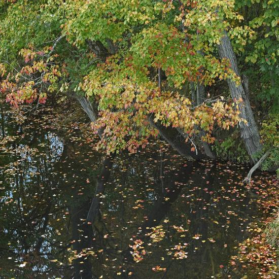 Fallen Leaves on Little Androscoggin River, New Hampshire, Usa-Tim Fitzharris-Photographic Print