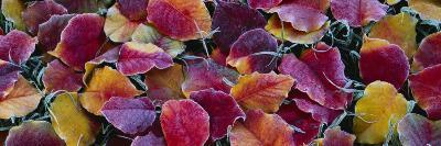 Fallen Leaves, Sacramento, California, USA--Photographic Print
