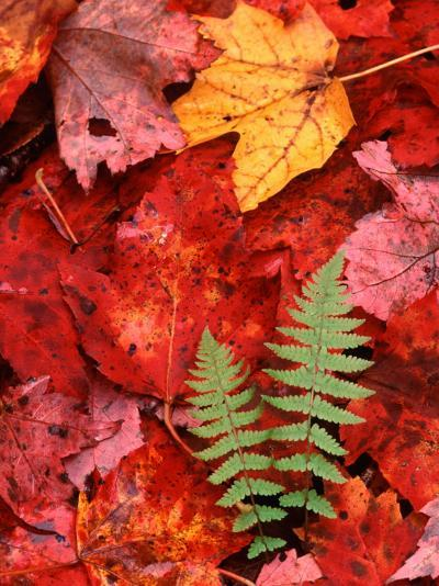 Fallen Maple Leaves and Ferns-Charles Sleicher-Photographic Print