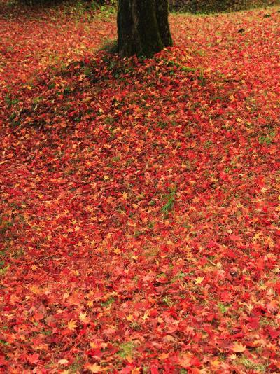 Fallen Maple Leaves--Photographic Print